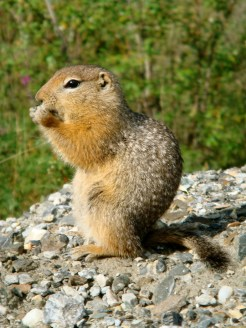 Arctic Ground Squirrel. From the Park's website.