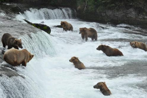 Bear in Katmai National Park wait for the river to deliver their dinner: migrating salmon. Photo: Douglas Croft. Posted on Tumblr by the US Department of the Interior, 6/6/14.