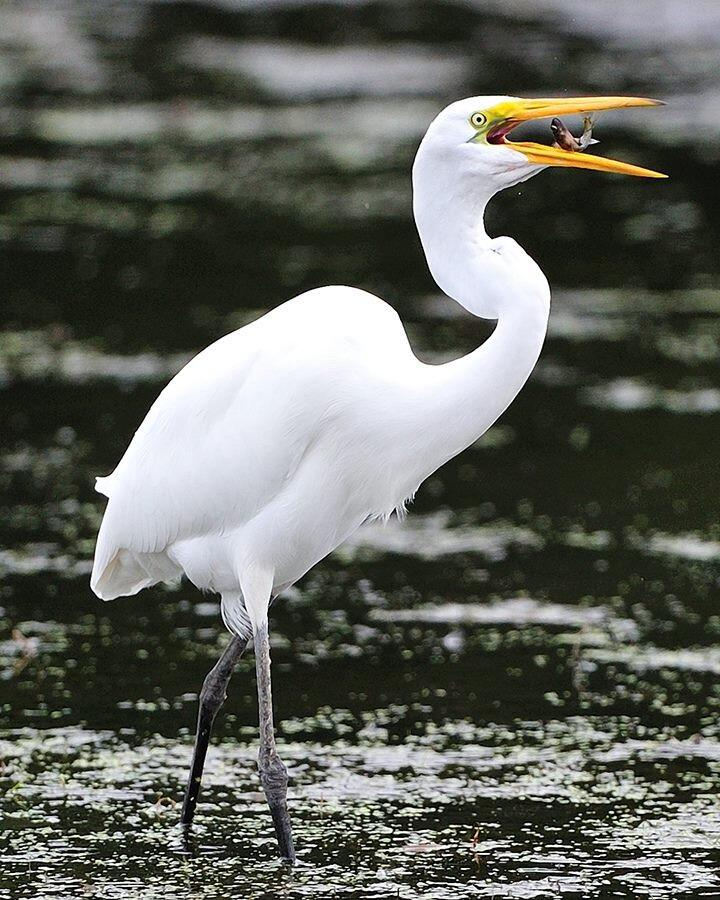 A great egret with a great catch at the Montezuma National Wildlife Refuge in New York. And don't forget what a great catch this is by the unnamed photographer! Tweeted by the US Department of the Interior, 5/20/14.