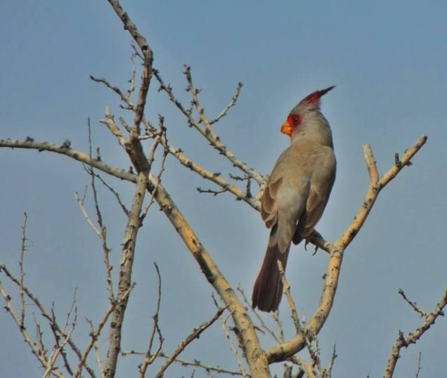 The Pyrrhuloxia or Desert Cardinal (Cardinalis sinuatus). From the Park's Facebook page.