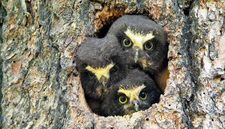Saw-whet owls in Washington's Hanford Reach National Monument. Tweeted by the US Department of the Interior, 5/30/14.