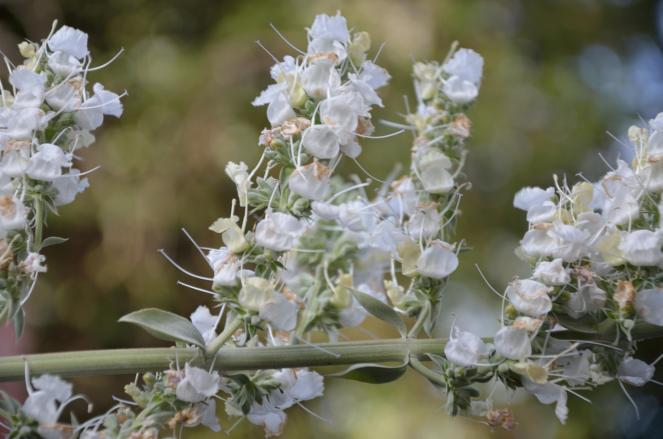 White Sage 03
