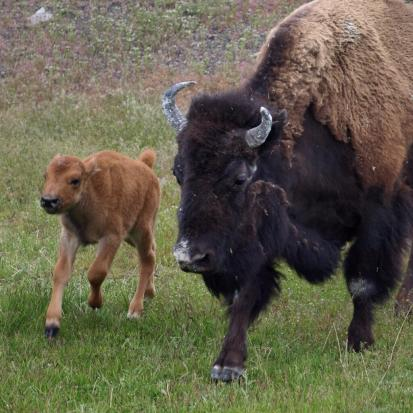 Mother and calf. Yellowstone National Park. Tweeted by the US Department of the Interior on Mother's Day, 5/11/14.