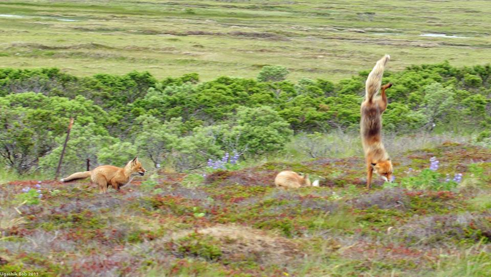 Photographer Bob Dreeszen took this photo at Alaska Peninsula National Wildlife Refuge. We can't explain what this red fox is doing. Posted on Tumblr by the US Department of the Interior on 6/26/14.