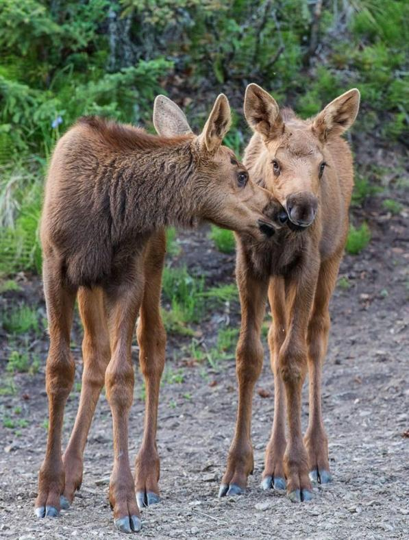 Two moose calves near Alaska's Forty Mile River. Tweeted by the US Department of the Interior, 6/18/14.