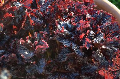 Red Lettuce 01