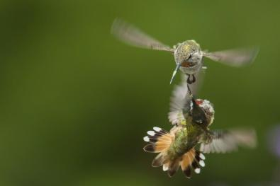 An aerial battle between hummingbirds at California's Sonny Bono National Wildlife Refuge. Photo: Sarah Chah. Tweeted by the US Department of the Interior, 6/17/14.
