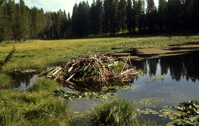 Beaver lodge. Photo from the Yosemite National Park's website.