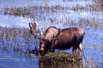 Bull moose. From Yellowstone National Park's website.