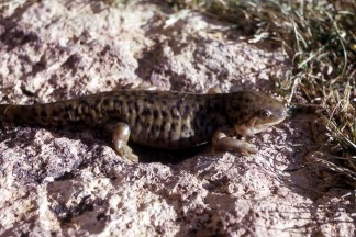 Tiger Salamander. From the Yosemite National Park's website.
