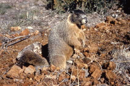 Yellow-bellied marmot. From Yellowstone National Park's website.