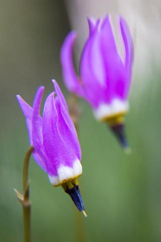 Slimpod Shooting Star (Dodecatheon Conjugens). From the Park's Facebook page.