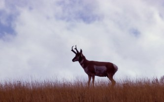 Pronghorn Antelope. From the Park's website.