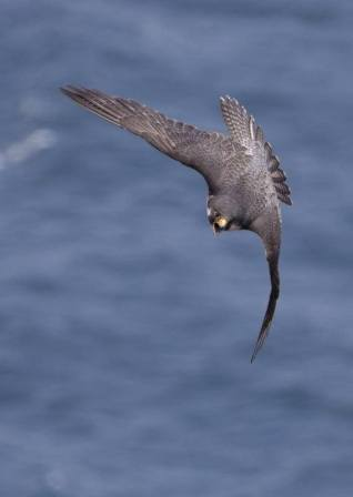 Peregrine falcon. From the Park's Facebook page.
