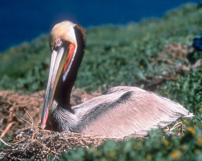 Brown pelican. From the Park's website.