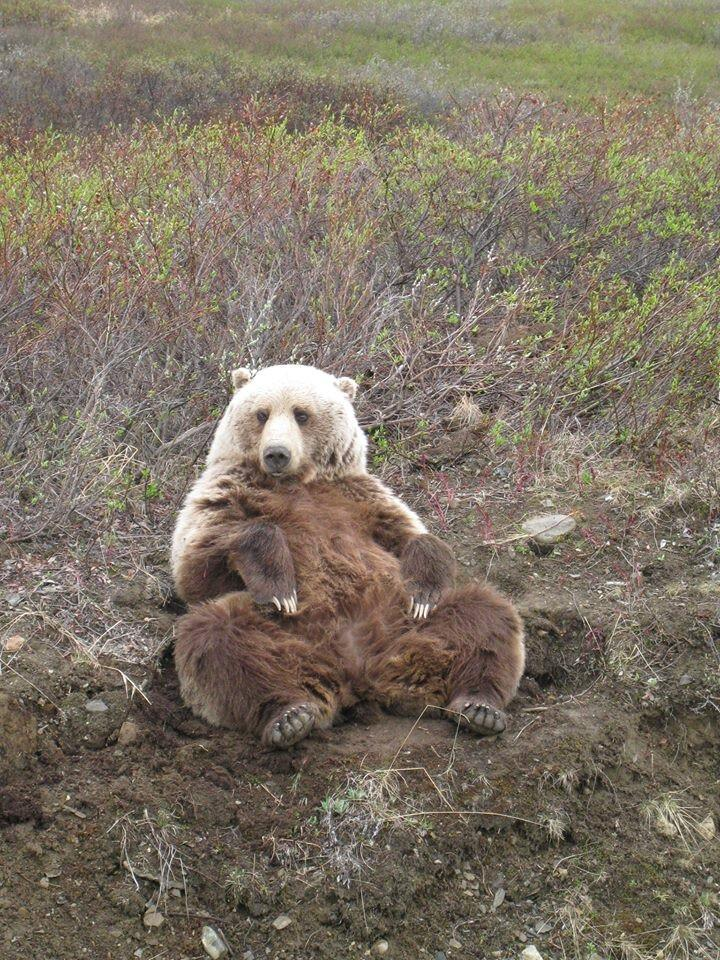 Who doesn't like putting your feet up at the end of a stressful day? This brown bear is from Denali National Park. Tweeted by the US Department of the Interior, 7/14/14.