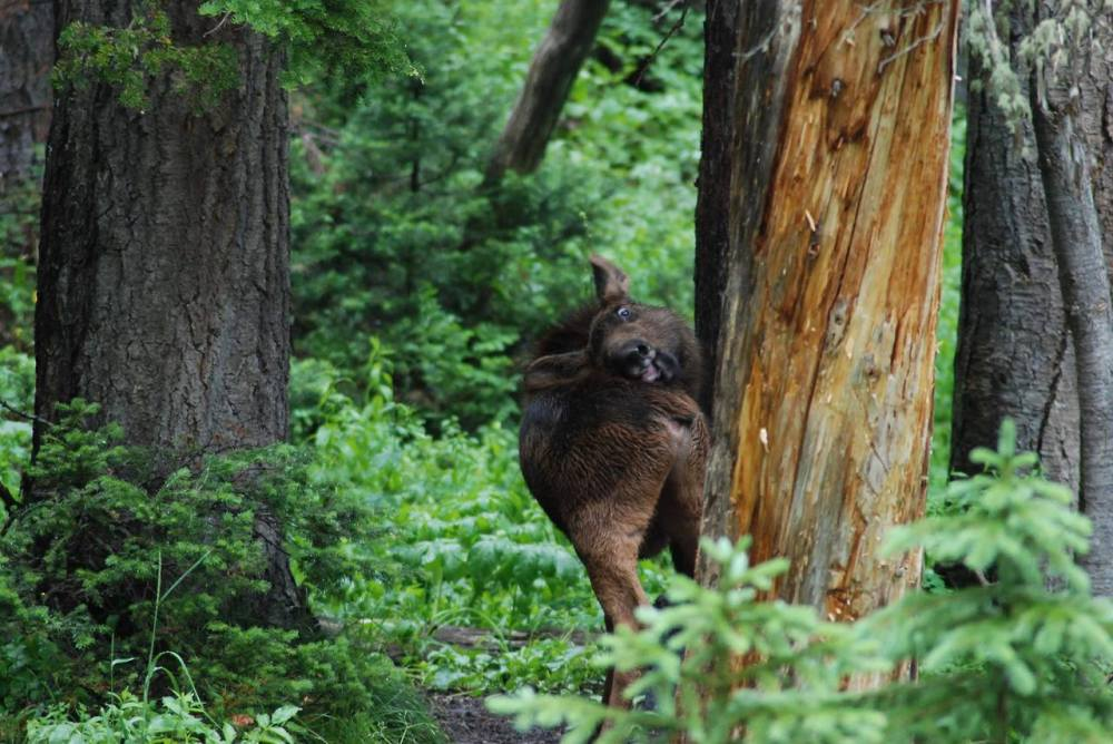 This moose calf in Grand Teton National Park is finding that those itchy spots on your lower back are reeaallly hard to reach. Photo: D. Lehle. Posted on Tumblr by the US Department of the Interior, 7/31/14.