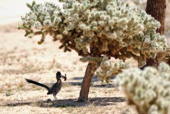 A roadrunner with his meal, in the shade of a cactus. From the Park's Facebook page.