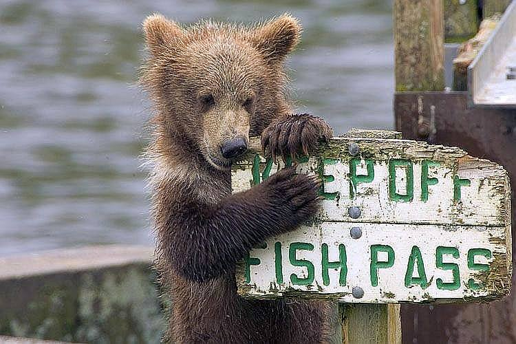 This kodiak bear in Kodiak National Wildlife Refuge clearly doesn't care about the refuge rules.  Photo: Steve Hillebrand, USFWS. Posted on Tumblr by the US Department of the Interior, 7/30/14.