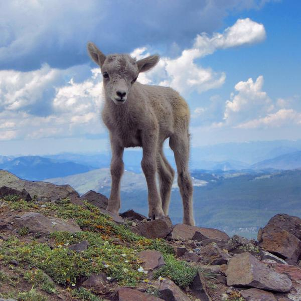 New-born lamb at Yellowstone National Park. Photo by Andriana Puchany. Tweeted by the US Department of the Interior, 10/22/14.