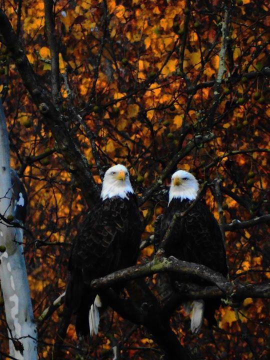 Check out this handsome pair! Bald Eagles at Cuyahoga Valley National Park. Photo by Jeff Bizjak. Tweeted by the US Department of the Interior, 11/6/14.