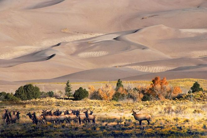 The elk herd in Great Sand Dunes National Park. Tweeted by the US Department of the Interior, 11/7/14.
