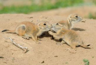 "Prairie dogs greet each other with a ""kiss."" Photo taken at Rocky Mountain Arsenal National Wildlife Refuge. Photo by Rich Keen. Tweeted by the US Department of the Interior, 11/19/14."