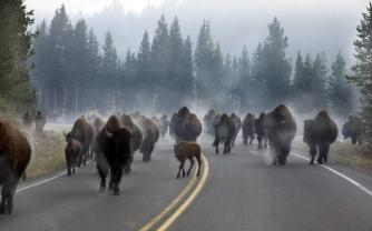 Bison taking to the road in Yellowstone National Park. Tweeted by the US Department of the Interior, 11/5/14.