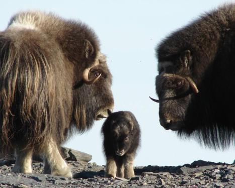 A muskoxen family in Bering Land Bridge National Preserve, one of the most remote public lands in the National Park system. Tweeted by the US Department of the Interior, 12/22/14.