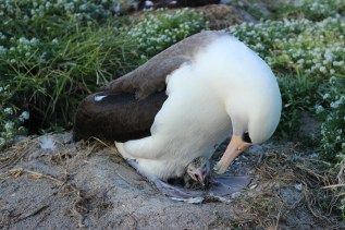 Wisdom - chick hatching 2013