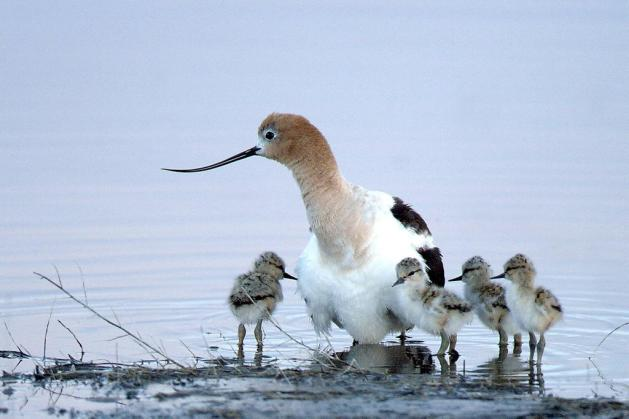 American Avocet. Tweeted by the US Department of the Interior, 1/5/15.