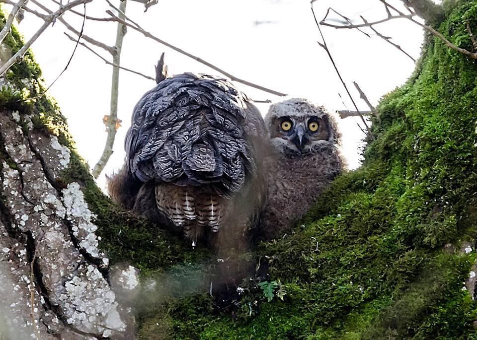 First baby owl of the year spotted at Nisqually National Wildlife Refuge in Washington. Photo by Louise Whitehead. Tweeted by the US Department of the Interior, 1/26/15.
