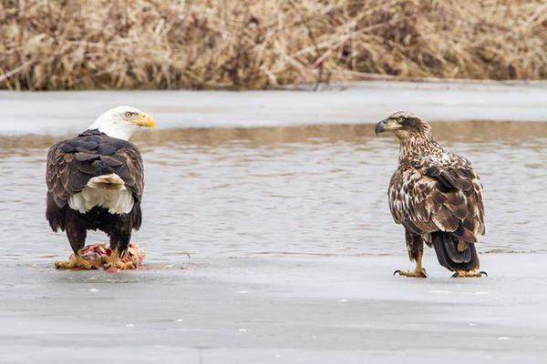 Here's a cool pic of two Bald Eagles staring each other down at Upper Mississippi Wildlife & Fish Refuge. Located in four states along the Mississippi River — Minnesota, Wisconsin, Iowa and Illinois — the refuge encompasses one of the largest blocks of floodplain habitat in the lower 48 states. Bordered by steep wooded bluffs that rise 100 to 600 feet above the river valley, the Mississippi River corridor and refuge offer scenic beauty and productive fish and wildlife habitat unmatched in the heart of America. Photo of a mature and juvenile Bald Eagle by Stan Bousson. Posted on Tumblr by the US Department of the Interior, 1/13/15.