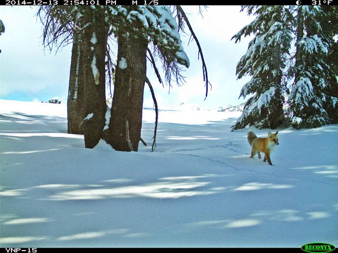 An extremely rare Sierra Nevada red fox was recently photographed in Yosemite National Park. It's the first sighting in 100 years ... fewer than 50 of the foxes are believed to be alive. Tweeted by the US Department of the Interior, 1/29/15.