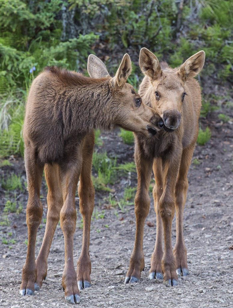 Two baby moose at 40 Mile River National Wildlife Refuge in Alaska. Tweeted by the US Department of the Interior, 2/14/15.