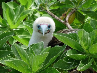 A Red-footed Booby at the refuge. Photo by Laura M. Beauregard, USFWS. Posted on Tumblr by the US Department of the Interior, 2/11/15.