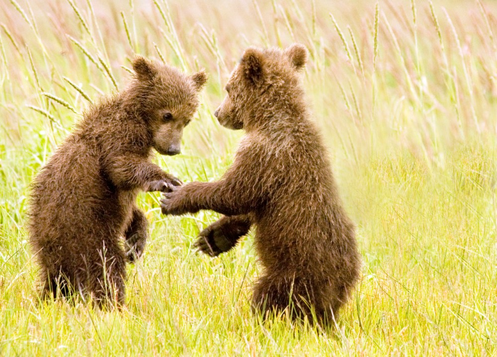Two bear cubs holding paws at Lake Clark National Park in Alaska. Lake Clark is home to a diverse population of wildlife, including brown bears. During the summer months, it's common for visitors to see a gathering of bears along Lake Clark's Cook Inlet. Photo by Mary Gretchen Kaplan. Posted on Tumblr by the Us Department of the Interior, 3/26/15.