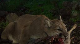 Notice how P-33 turns her head to the side while she bites through the deer hide? She is using her carnassial teeth, which are modified molars and premolars that act as shears to cut through the tough hide and meat. These sharp teeth are excellent at cutting and tearing flesh. Cats do not chew their food, so they actually use these carnassial teeth to tear and cut their meat up into smaller pieces to swallow whole.