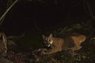 Can you spot all three mountain lions in this photo? In addition to the mom and brother in the foreground, you can make out P-33 lounging and digesting her meal in the background.