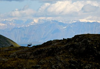 Caribou in Delta River Corridor in Alaska. Photo by Jeremy Matlock, BLM. Posted on Tumblr by the US Department of the Interior, 3/3/15.