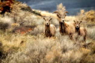 Big Horn Sheep on Albert Rim in Oregon. Photo by Kevin Abel, BLM. Posted on Tumblr by the US Department of the Interior, 3/3/15.