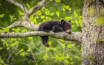 Your daily dose of cute: A bear cub hanging out in a tree at Great Smoky Mountains National Park (North Carolina and Tennessee). Black bears give birth during hibernation, and the female bears and their cubs usually emerge from their winter dens in late March and early April. Photo by M&D Hills Photography. www.mdhillsphotography.com. Posted on Tumblr by the US Department of the Interior, 4/19/15.