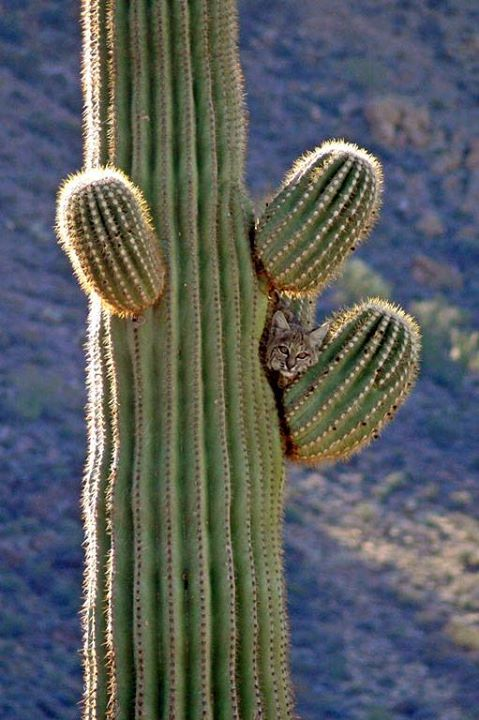 Where's the best place to look for wildlife when visiting America's public lands? Sometimes you have to look where you least expect. Case in point: This pic of bobcat hiding in a cactus at Organ Pipe Cactus National Monument in Arizona. Posted on Tumblr by the US Department of the Interior, 5/6/15.