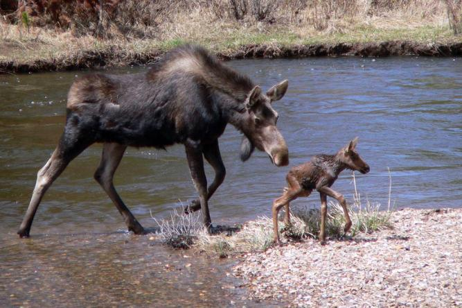 Mama moose helps her baby cross a river in Rocky Mountain National Park. Tweeted by the US Department of the Interior, 5/29/15.