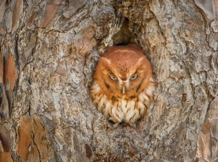This funny photo of an Eastern Screech owl was taken at Okefenokee National Wildlife Refuge in Georgia. Okefenokee is like no other place on earth, where natural beauty and wilderness prevail. It preserves the Okefenokee Swamp, providing vital habitats for birds, reptiles and other wildlife. Photo by Graham McGeorge. Posted on Tumblr by the US Department of the Interior, 7/14/15.