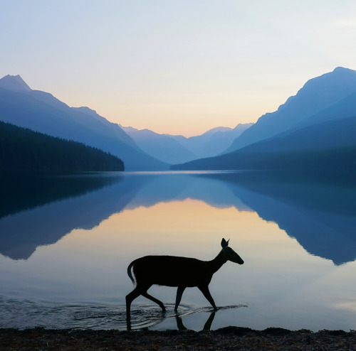 """A beautiful photo of first light at Glacier National Park in Montana. Of the image, photographer Kevin LeFevre says: """"While shooting the sunrise at Bowman Lake, we were graced with this meandering doe. I scrambled to change my camera settings to accommodate the movement and pulled off this solitary photo. A once in a lifetime."""" While parts of Glacier are closed because of Reynolds Creek Fire, most of the park remains open, including Bowman Lake area. Photo courtesy of Kevin LeFevre. Posted on Tumblr by the US Department of the Interior, 7/28/15."""