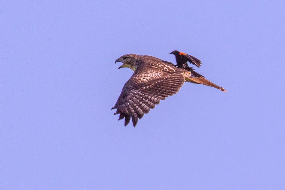 Here's a rare sight: A blackbird hitches a ride on a hawk. Photo was said to be taken at the DeSoto/Boyer Chute National Wildlife Refuges, which are on either side of the Nebraska & Iowa border. Photo by Mike White. Tweeted by the US Department of the Interior on 8/4/15.