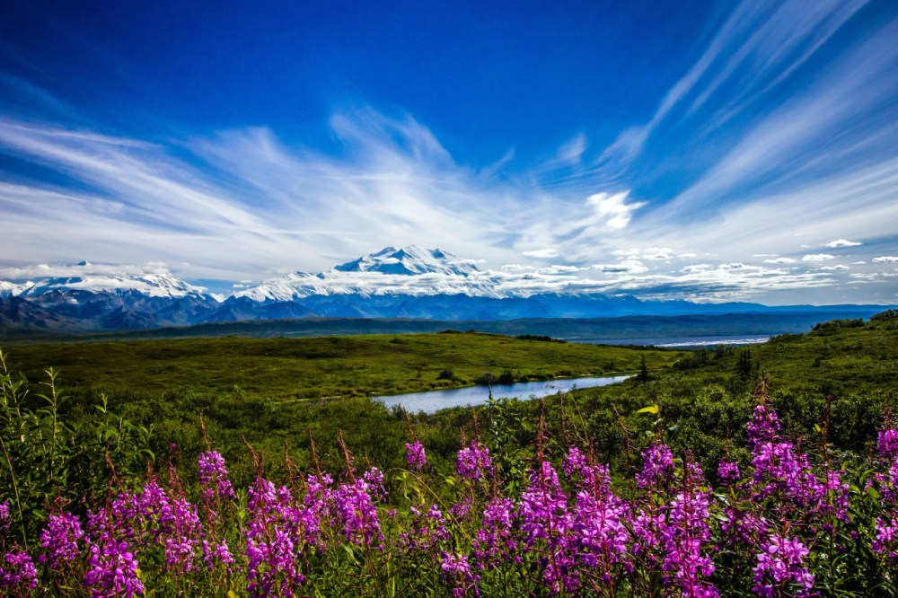 Fireweed blooms in the late Alaskan summer and darkens as autumn approaches. It gets its name from growing on burnt ground left open after wildfires. One of the great joys of discovering the botany of Denali National Park is the unique and intact nature of the plant communities that exist here. Here we see fireweed thriving with Denali in the background. Photo by Gavin Danapong. Posted on Tumblr by the US Department of the Interior, 9/19/15.
