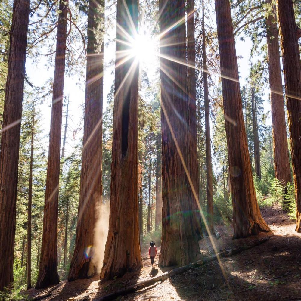 Giant sequoia trees in the Kings Canyon/Sequoia National Parks. Photo by Tiffany Nguyen. Tweeted by the US Department of the Interior, 10/19/15.