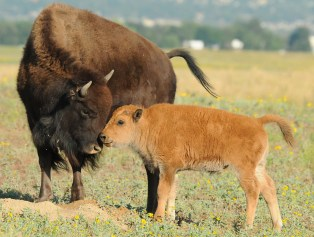 bison and its calf sharing a tender moment at Rocky Mountain Arsenal National Wildlife Refuge in Colorado. Photo by Rich Keen, DPRA. Posted on Tumblr by the US Department of the Interior, 11/1/15.